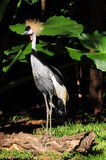 Tropical bird Balearica regulorum. Royalty Free Stock Photography