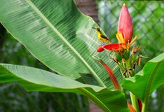 Tropical bird on banana flower. Olive-back sunbird female on exotic plant. Exotic nature photo for wallpaper or background. Small yellow bird with blue chest Stock Photo