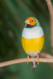 Tropical bird on a branch Stock Photography