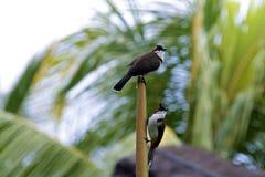 Tropical Bird conde Stock Image