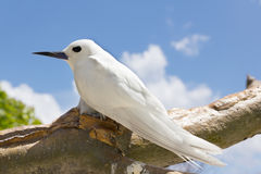 Tropical bird - Feiry Tern. The Fairy Tern Bird (or holy ghost bird - species Sterna nereis), comman Bird in Seychelles Royalty Free Stock Photos
