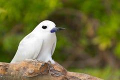 Tropical bird - Feiry Tern Stock Photo