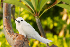 Tropical bird - Feiry Tern Royalty Free Stock Images