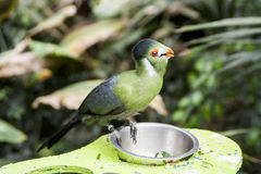A tropical bird. Tropical green bird perching on a feeding bowl in Royalty Free Stock Photography