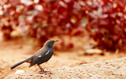 Tropical bird (Indian Robin Female) Royalty Free Stock Photo