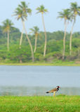 Tropical bird lapwing Royalty Free Stock Image
