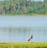 Tropical bird lapwing Royalty Free Stock Photography