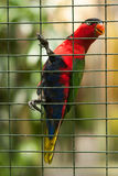 Tropical bird parrot in a metal cage, holds its paws behind the bars, plumage of various colors: red head and chest, blue belly, g Stock Photo