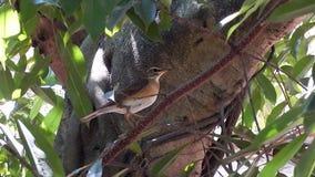 Tropical bird. In Penang, Malaysia stock footage
