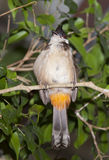 Tropical bird red-whiskered bulbul Royalty Free Stock Image