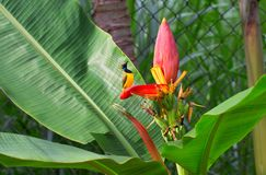 Tropical bird sings on banana flower. Olive-back sunbird male on exotic plant. Stock Photography