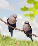 Tropical Birds. Blue Bellied Roller Birds Perching Stock Image