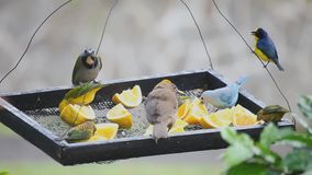 Tropical birds at a feeder in Panama stock footage