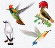 Tropical birds and hummingbird on a transparent background. Rare exotic tropical birds and hummingbird on a transparent background. Vector mesh and curves vector illustration