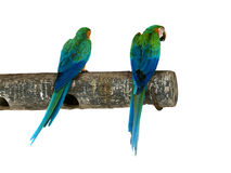 Tropical birds isolated  - Parrots. Two Tropical birds isolated in white background Royalty Free Stock Image
