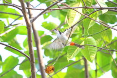 Tropical birds. The magnificent view of a  red whiskered  bulbul Stock Photos