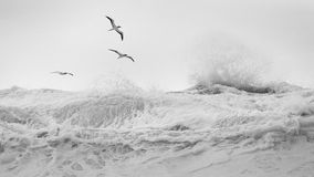Tropical birds over wind blown waves. Black and white of Tropical birds soaring over Oahu's north shore, during a large winter storm swell Stock Image