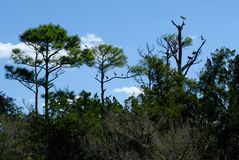 Tropical birds in the trees of Florida wetlands. Tropical birds perched in the treetops in the Florida wetlands Royalty Free Stock Images