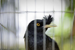 Tropical black bird lock in cage. Tropical black bird look out lock in cage Royalty Free Stock Photography