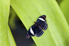 Tropical black butterfly Royalty Free Stock Photo