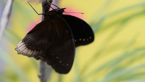 Tropical black butterfly flaps wings. Macro closeup stock video footage