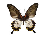 Tropical black and white butterfly Royalty Free Stock Photo