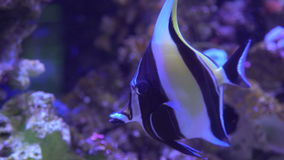 Tropical black and white fish with yellow tail fin swims near coral. UAE, 2017: Aquarium of the Dubai mall. Tropical black and white fish with yellow tail fin stock video footage