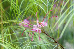 Tropical blooming spider flower Royalty Free Stock Photo