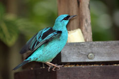 Tropical Blue Bird Royalty Free Stock Image