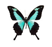 Tropical blue and black butterfly Royalty Free Stock Photo