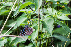 Tropical blue and black butterfly sitting on a flower stock photo