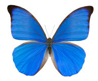 Tropical blue butterfly Royalty Free Stock Photo