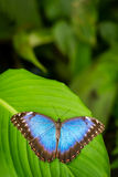 Tropical blue butterfly with green background Royalty Free Stock Photos