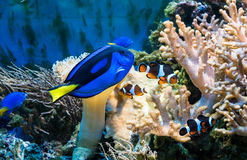 Tropical blue fish and clownfish. Beautiful tropical blue fish and clownfish in aquarium Stock Photography