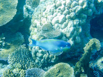 Tropical blue fish and coral reef in Maldives Royalty Free Stock Photos