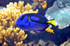 Tropical blue fish Stock Photo