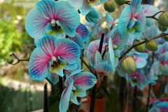 Tropical Blue and Pink Orchid Stock Images