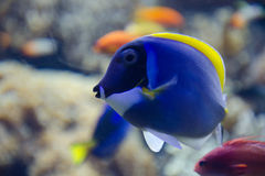 Tropical Blue Tang fish swims near coral reef Stock Photo