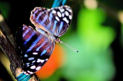 Tropical blue wave butterfly in aviary Stock Photos