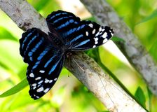 Tropical blue wave butterfly closeup Royalty Free Stock Image