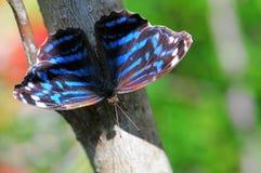 Tropical blue wave butterfly (Myscelia cyaniris) Stock Photography