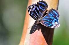 Tropical blue wave butterfly Royalty Free Stock Photos