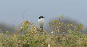 Tropical Boubou Stock Images