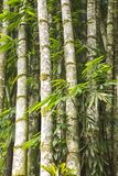 Tropical brazilian bamboo, bambusa tulda royalty free stock photo