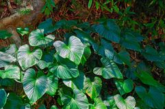 Tropical broad-leaved plants in the jungle rainforest. Play of light and shadow. Copy space Royalty Free Stock Photos
