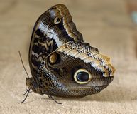 Tropical brown owl butterfly macro Royalty Free Stock Photos