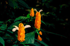 Tropical Buds. An unusual orange budding tropical plant Royalty Free Stock Photography