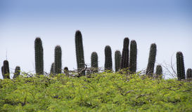 Tropical bush with cactus. North side of the caribbean island Curacao (Vlakte van HATO) is a rocky flat area with some small bushes en cactus Stock Photos