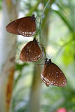 Tropical butterflies Royalty Free Stock Image