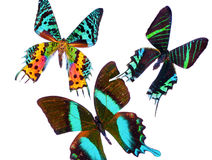 Tropical Butterflies Stock Photography